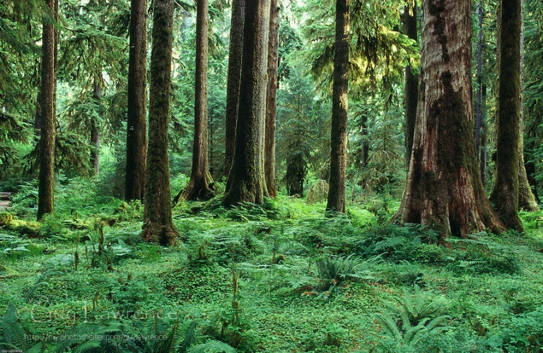 Hoh-forest-floor